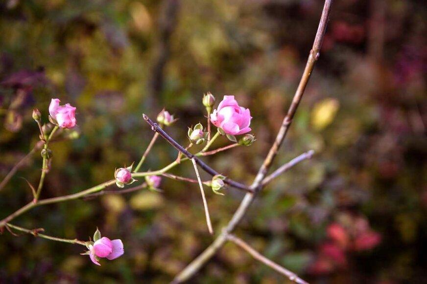W Skierniewicach kwitną róże [ZDJĘCIA]