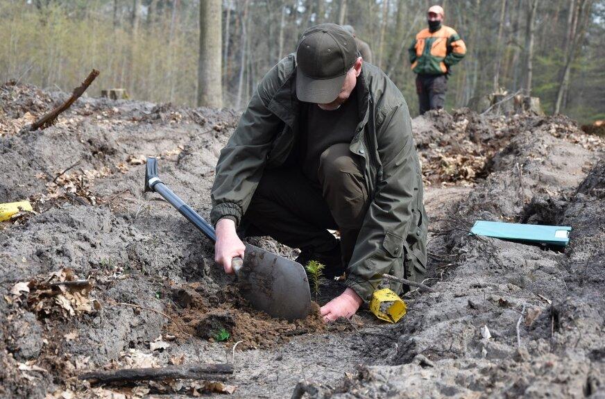 Zwierzyniec: Akcja sadzenia cisów trwa, wkopano 500 drzewek