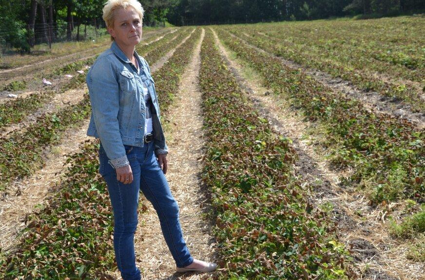 Dorota Rzeźnicka jest załamana tym co się stało, straciła truskawki z pół hektara gruntu.