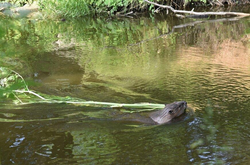 Bobra spotkaliśmy na rzece Łupi. Prawdopodobnie zwierzę zaczęło przygotowania do zimy i zaczęło gromadzić zapasy.